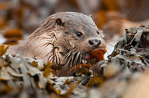 European river otter (Lutra lutra) coming ashore with a butterfish, Shetland, Scotland, UK, July.  -  SCOTLAND: The Big Picture