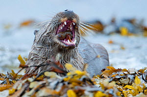 European river otter (Lutra lutra) feeding on eelpout, Shetland, Scotland, UK, August.  -  SCOTLAND: The Big Picture