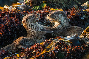 European river otter (Lutra lutra) cubs play fighting, Shetland, Scotland, UK, May. - SCOTLAND: The Big Picture