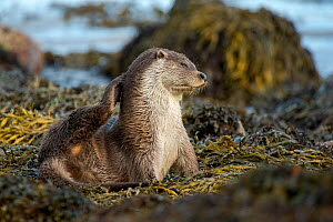 European river otter (Lutra lutra) grooming, Shetland, Scotland, UK, September.  -  SCOTLAND: The Big Picture