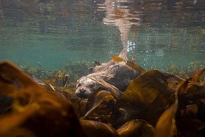 European river otter (Lutra lutra) swimming over kelp, Shetland, Scotland, UK, April.  -  SCOTLAND: The Big Picture