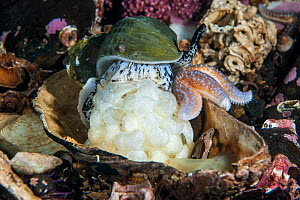 Common whelk (Buccinum undatum) laying eggs, Loch Creran, Argyll and Bute, Scotland, UK, November. Small repro only.  -  SCOTLAND: The Big Picture