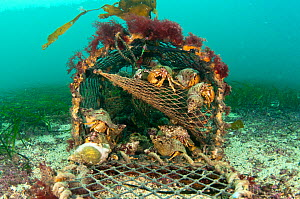 Hermit crabs (Pagurus bernhardus) in lost lobster pot / creel, Orkney, Scotland, UK, January.  -  SCOTLAND: The Big Picture