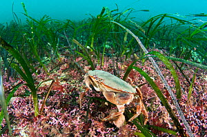 Maerl (Corallinales) and Sea grass (Zostera marina) beds, Orkney, Scotland, UK, January.  -  SCOTLAND: The Big Picture