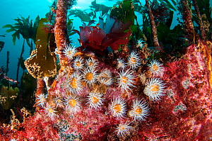 Anemones (Sagartia sp) living amongst a kelp forest, North Rona, Outer Hebrides / Western Isles, Scotland, UK, July.  -  SCOTLAND: The Big Picture
