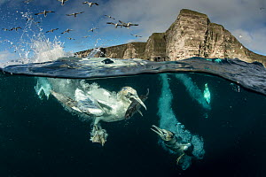 Gannets (Morus bassanus) diving to feed on discarded fish, Shetland, Scotland, UK, April. - SCOTLAND: The Big Picture
