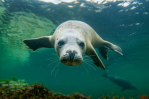 Grey seal (Halichoerus grypus) swimming towards camera, Orkney, Scotland, UK, August. - SCOTLAND: The Big Picture