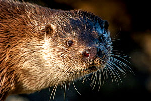 European river otter (Lutra lutra)  close up portrait, Shetland, Scotland, UK, February.  -  SCOTLAND: The Big Picture