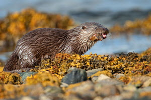 European river otter (Lutra lutra) cub feeding on an eelpout fish on the rocky shore, Shetland, Scotland, UK, February.  -  SCOTLAND: The Big Picture