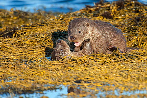 European river otter (Lutra lutra) cubs aged four months, play fighting amongst seaweed, Shetland, Scotland, UK, February.  -  SCOTLAND: The Big Picture
