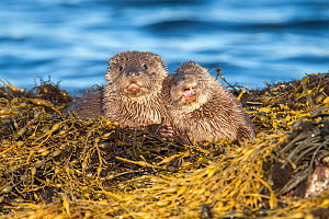 European river otter (Lutra lutra) cubs aged four months, on Knotted wrack seaweed, Shetland, Scotland, UK, February.  -  SCOTLAND: The Big Picture