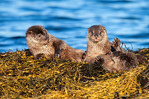 European river otter (Lutra lutra) cubs aged four months play fighting on Knotted wrack seaweed, Shetland, Scotland, UK, February.  -  SCOTLAND: The Big Picture