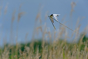 Common tern (Sterna hirundo) in flight with grass for the nest, Brenne, France, May.  -  Loic  Poidevin