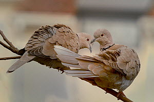 Eurasian collared dove (Streptopelia decaocto) pair on branch, Loire Atlantique, France, March  -  Loic  Poidevin
