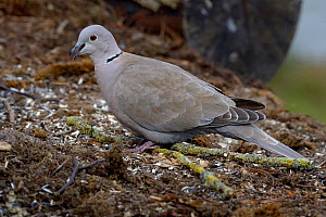 Eurasian collared dove (Streptopelia decaocto) on ground, Loire Atlantique, France, March  -  Loic  Poidevin