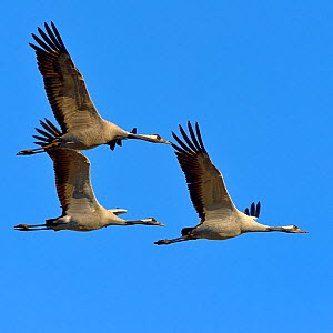 Common crane (Grus grus) group of three in flight, Lake Hornborga, Sweden , April - Loic  Poidevin