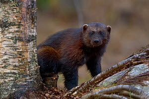 Wolverine (Gulo gulo) in forest, Finland, April. - Loic  Poidevin