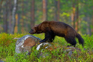 Wolverine (Gulo gulo) in forest, Finland, May.  -  Loic  Poidevin