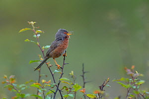 Dartford warbler (Sylvia undata) on a branch, Brittany, France, June  -  Loic  Poidevin
