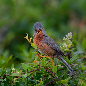 Dartford warbler (Sylvia undata) singing on branch, Brittany, France, June  -  Loic  Poidevin