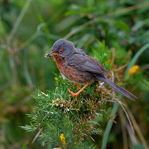Dartford warbler (Sylvia undata) on a branch with prey, Brittany, France, June  -  Loic  Poidevin
