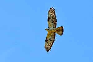 European honey buzzard (Pernis apivorus) flying, Vendeen Marsh, West France, June - Loic  Poidevin