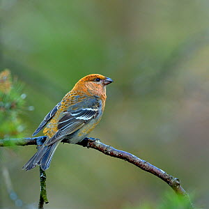 Pine grosbeak (Pinicola enucleator) female on a branch, North Finland, May 2016 - Loic  Poidevin