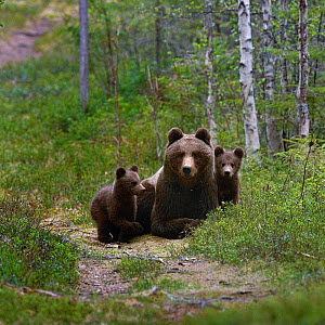 Eurasian brown bear (Ursus arctos arctos) mother with cubs on forest path, North Finland, May.  -  Loic  Poidevin