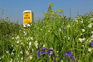 Bank of Oxeye daisies (Oxalis sp) and Bluebells (Hyancinthoides)  in which major gas pipeline runs Norfolk, UK, May.  -  Ernie  Janes