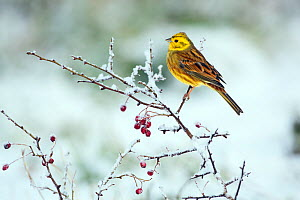 Yellowhammer (Emberiza citinella) in winter hedgerow, Norfolk, England, UK, December. - Ernie  Janes