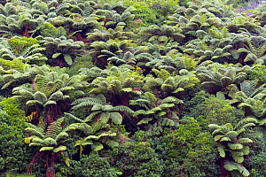 RF- Rough tree ferns (Dicksonia squarrosa) growing on hillside, New Zealand. (This image may be licensed either as rights managed or royalty free.)  -  Ernie  Janes