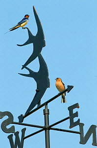 RF- Swallow (Hirundo rustica) adult and Chaffinch (Fringilla coelebs) perched on Weather Vane  England, UK, May. (This image may be licensed either as rights managed or royalty free.) - Ernie  Janes