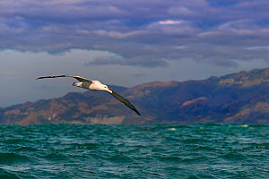 RF- Wandering albatross (Diomedea exulans) in flight, Kaikoura, New Zealand (This image may be licensed either as rights managed or royalty free.) - Ernie  Janes