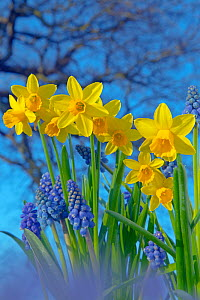 RF- Grape hyacinths (Muscari) and Daffodils (Narcissus sp) in flower, Norfolk, UK, March. (This image may be licensed either as rights managed or royalty free.)  -  Ernie  Janes