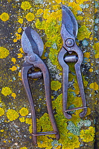 RF- Old garden secateurs on lichen. (This image may be licensed either as rights managed or royalty free.)  -  Ernie  Janes