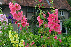 RF- Hollyhock (Alcea) flowers in Hambleden Village Buckinghamshire, England, UK, July (This image may be licensed either as rights managed or royalty free.) - Ernie  Janes