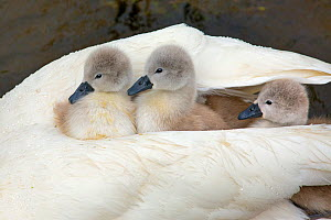 RF- Mute swan (Cygnus olor) with newly hatched cygnets under wing, England, UK, May. (This image may be licensed either as rights managed or royalty free.) - Ernie  Janes