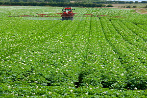 RF- Potato (Solanum tuberosum) crop in flower with sprayer spraying fungicides,  Norfolk, England, UK, July. (This image may be licensed either as rights managed or royalty free.)  -  Ernie  Janes