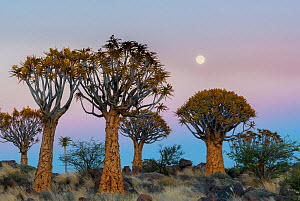 Quiver trees (Aloe dichotoma) at sunset with moon, Namib Desert, Namibia. - Jack Dykinga