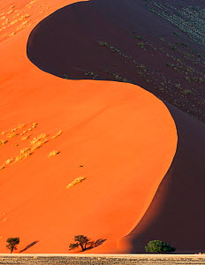 Sossusvlei World Heritage Site, with curving red sand dunes and acacia trees.  Namib-Naukluft National Park, Namibia. June 2013.  -  Jack Dykinga