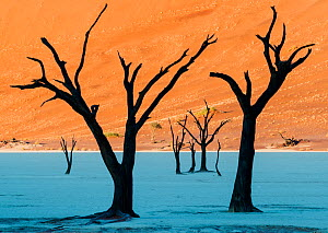 Dead Vlei, with dessicated 900 year old trees standing in the salt pan surrounded by towering red sand dunes. Namib-Naukluft National Park, Namibia. June 2013. - Jack Dykinga