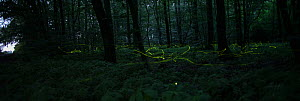 Light trails of  Firefly (Lamprohiza splendidula), males flying at night in woodland,  Lower Saxony, Germany, June.  -  Kerstin  Hinze