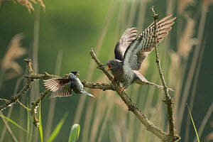 Common reed bunting (Emberiza schoeniclus) attacking Common cuckoo (Cuculus canorus), female,  Braunschweig, Lower Saxony, Germany, May. - Kerstin  Hinze