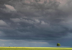 Field of Flax (Linum usitatissimum) with single  tree in distance  under large sky with dark clouds, Guy Saint Andre, Pas De Calais, France, June 2016.  -  Pascal  Tordeux
