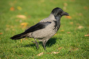 Hooded crow (Corvus cornix) Berlin, Germany November  -  Bernard Castelein