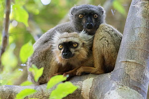 Sanford's brown lemur (Eulemur sanfordi) male and female in tree, Ankarana National Park, Madagascar  -  Bernard Castelein