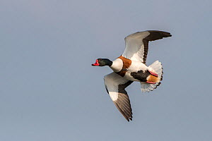Common shelduck (Tadorna tadorna) in flight, Texel, The Netherlands May  -  Bernard Castelein