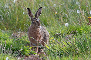 Brown hare (Lepus europaeus) resting in grass, Texel, The Netherlands May - Bernard Castelein