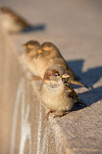 House sparrow (Passer domesticus) Berlin. Germany November - Bernard Castelein