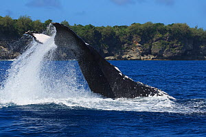 Humpback whale (Megaptera novaeangliae) adult female executing a reverse tail slap, with dorsal surface hitting the surface of the ocean, Vava'u, Tonga, South Pacific  -  Tony Wu